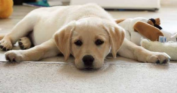 12 Week Old Yellow Lab Lab Puppies