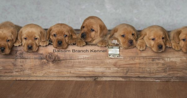 Fox Red Lab Puppies Four Weeks Old Puppies For Sale Cute Puppies Balsam Branch Kennel Wisconsinfox Red Lab Red Lab Puppies Puppy Litter Cute Puppies