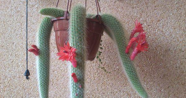 Cactus cola de mono en mi casa jardineria pinterest - Jardineria en casa ...
