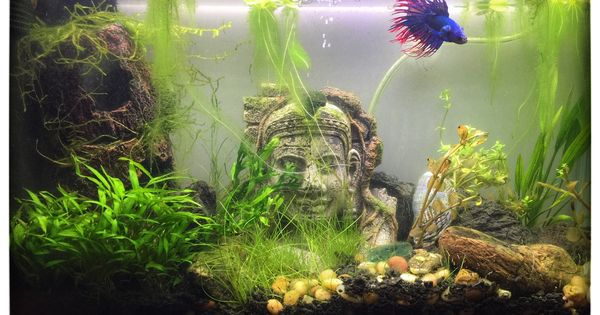 5 Gallon Fluval Spec For Our Crowntail Betta Consisting Of Anubias Java Fern Java Moss Crypt Wendtii Amazon Sword Amazon Betta Betta Tank Nano Aquarium