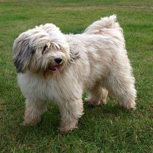 Tibet Terrier Tibet Terrier Tibet Terrier Welpe Tibet Terrier Mischling