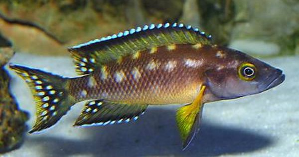 Neolamprologus buescheri 39 kamakonde 39 zaire gold for Most aggressive freshwater fish