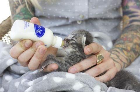 Neonatal Kitten Warrior Hannah Shaw Feeding Kittens Kittens