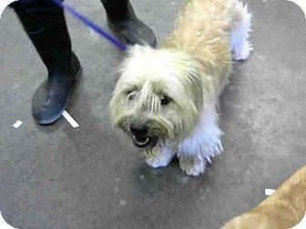 Mesa Az Shih Tzu Mix Meet A3800141 A Dog For Adoption Http