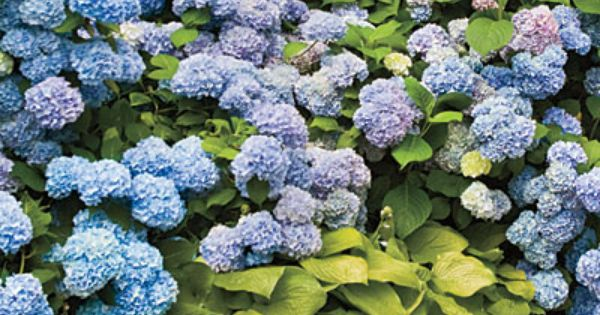 Pretty for the front yard. or back by the fence. French hydrangeas