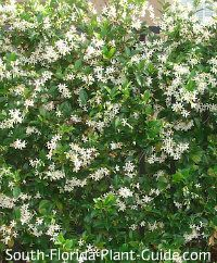 Confederate Jasmine Vine Florida Plants Florida Flowers Garden