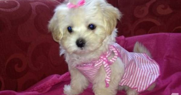 Very Rare Fawn Colored Maltipoo Puppies Maltipoo Puppy Maltipoo Puppies For Sale Maltipoo