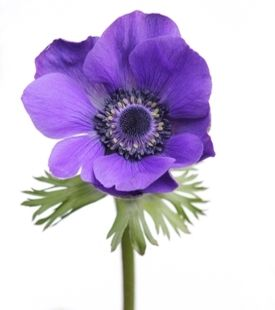 Meaning Of The Anemone Flower And Other Intriguing Facts Anemone Flower Bulb Flowers Anemone