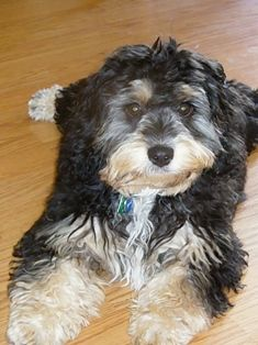 Pin By Bjg Travel Planners On Pets N Furry Friends Morkie Yorkie Dogs Cavapoo Puppies