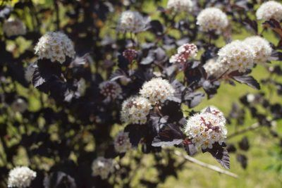 What Trees Bloom In Zone 3 Choosing Flowering Trees For Zone 3 Gardens Ninebark Shrub Flowering Trees When To Plant Vegetables