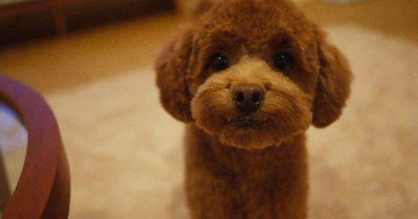 Toy Poodle Toy Poodle Haircut Poodle Haircut Toy Poodle