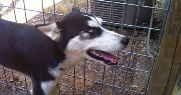 Pin By Us Lost Dog Registry On B W Found Siberian Huskies Us Lost Dog Registry Losing A Dog Find Pets Husky