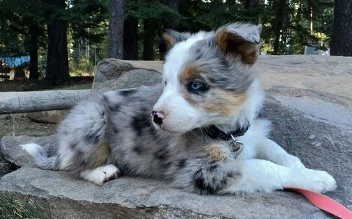Litter Of 9 Border Aussie Puppies For Sale In Dufur Or Adn 47372