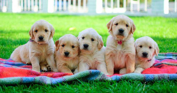 Golden Retriever Puppy For Sale In Mesa Az Adn 23906 On Puppyfinder Com Gender Female Age 5 Weeks Golden Retriever Puppy Puppies For Sale Golden Retriever