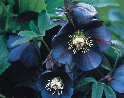 Black Hellebore. I want a small garden filled with only black flowers!