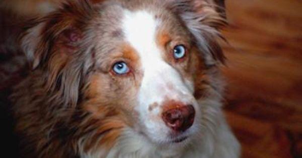 Miss Kylie Australian Shepherd Blue Eyed Dog Sheep Dog Puppy