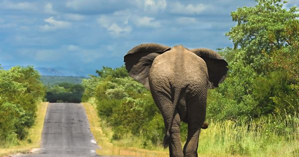 Elephant walking on one of the tar roads that connect the main