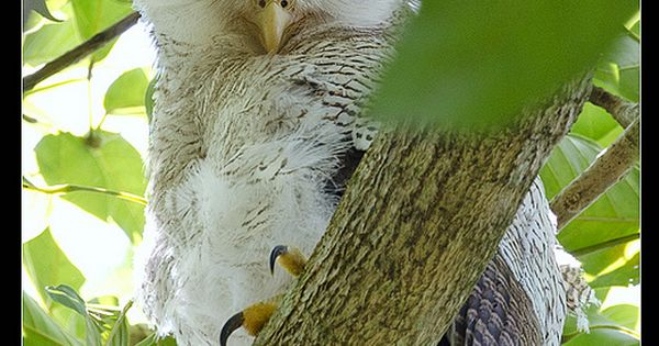 Juvenile Barred Eagle Owl by M.Louise: Resident of lowland forests of the