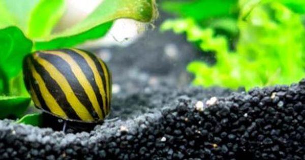 Nerite Snail Eggs Tank Saltwater Tank Snail Freshwater Fish