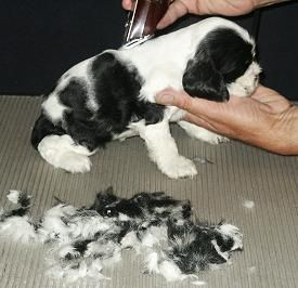 3 Haircuts For Cocker Spaniels Cocker Spaniel Puppies Spaniel