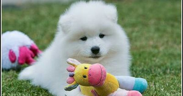 Dog Breeds Image By Bonnie Coley On Samoyed S Sweetest Dogs Sweet Dogs