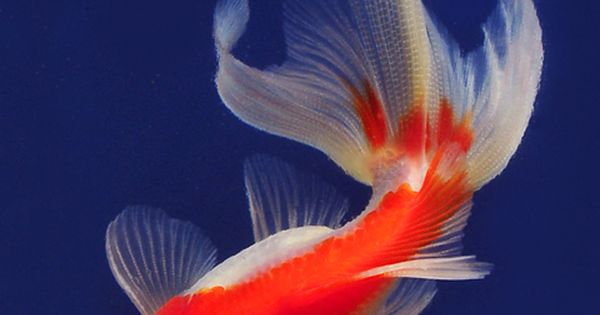 Goldfish red and white fantail koi for Red and white koi