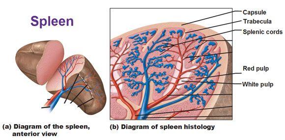 spleen histology, capsule of spleen, splenic cords, red pulp ...