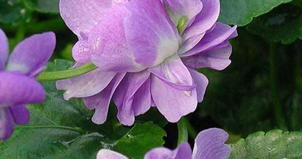 Lilacs Bloemen Paars