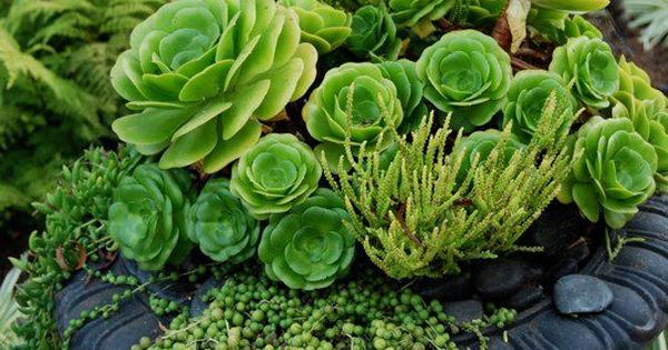 Cascading succulent container garden. String of Pearls