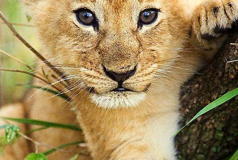 Baby lion cub.