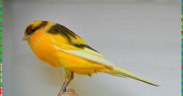 Pin Oleh Coffee Shop Di Borneo Berkicau Burung