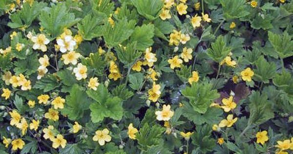 waldsteinia ternata schnell wachsend schattig halbschattig bodendecker stauden. Black Bedroom Furniture Sets. Home Design Ideas