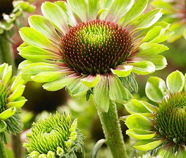 Green Twister Coneflower In 2020 Long Blooming Perennials Planting Bulbs Green