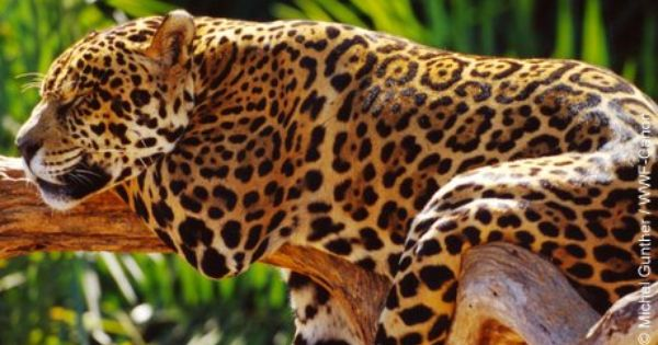 A Rain Forest Jaguar. #nature, #wildlife, #Amazon