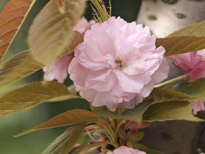 Kwanzan Cherry Tree Info Caring For Kwanzan Cherry Trees Kwanzan Cherry Flowering Cherry Tree Ornamental Cherry