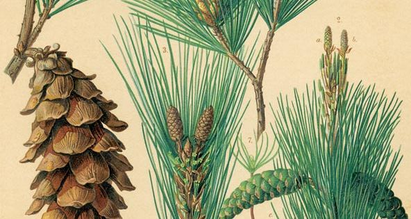 Eastern White Pine: Resin Used As A Fire Extender When