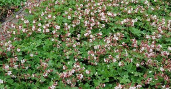 Geranium macrorrhizhum spessart ground cover perennial for Pink flower perennial ground cover