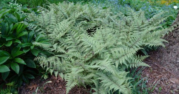 200 Spores Lady Fern ......