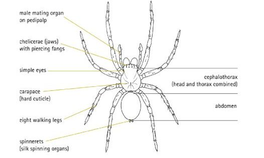 diagram of male spider  view from above