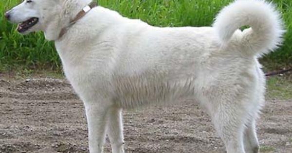Swedish White Elkhound Elkhound Puppies Dog Breeds Cute Puppy