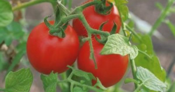 Homemade Fungicide For Tomatoes Gardens Plants And 640 x 480