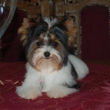 Biewer Dog Breed Information Biewer Yorkie Yorkshire Terrier Yorkshire Terrier Puppies