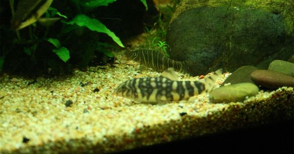 Zebra Loach Botia Striata And Twin Banded Loach Botia Rostrata Collection Of Photos In Simulations Of Southeast Asian Biotope Zebra Aquascape Water Life