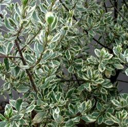 Variegated Italian Buckthorn Shade Plants Variegated Plants Plants