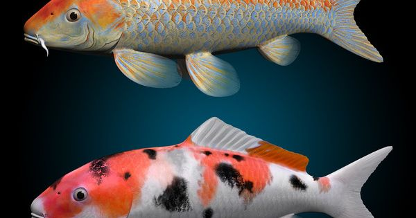 Koi fish max koi fish by motioncow fascinating fish for Orange coy fish