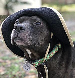 Gainesville Fl American Staffordshire Terrier Meet Tillman A