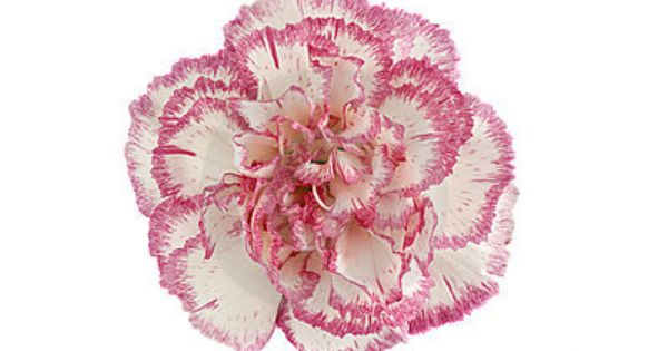 Pink And White Carnation Flower Head Carnation Flower Birth Month Flowers White Carnation