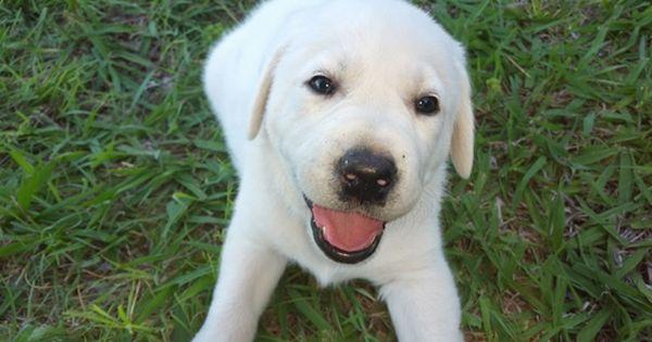 Litter Of 5 Labrador Retriever Puppies For Sale In Lawton Ok Adn 30619 On Puppyfinder Com Gender Female Age Labrador Retriever Lab Puppies Puppies For Sale