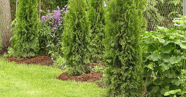 evergreens we planted to hide fence evergreen plants and yards. Black Bedroom Furniture Sets. Home Design Ideas