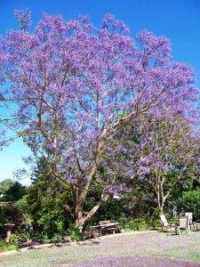 Jacaranda Trees Delicate Fern Like Leaves Purple Flowers Jacaranda Tree Trees To Plant Flowering Trees